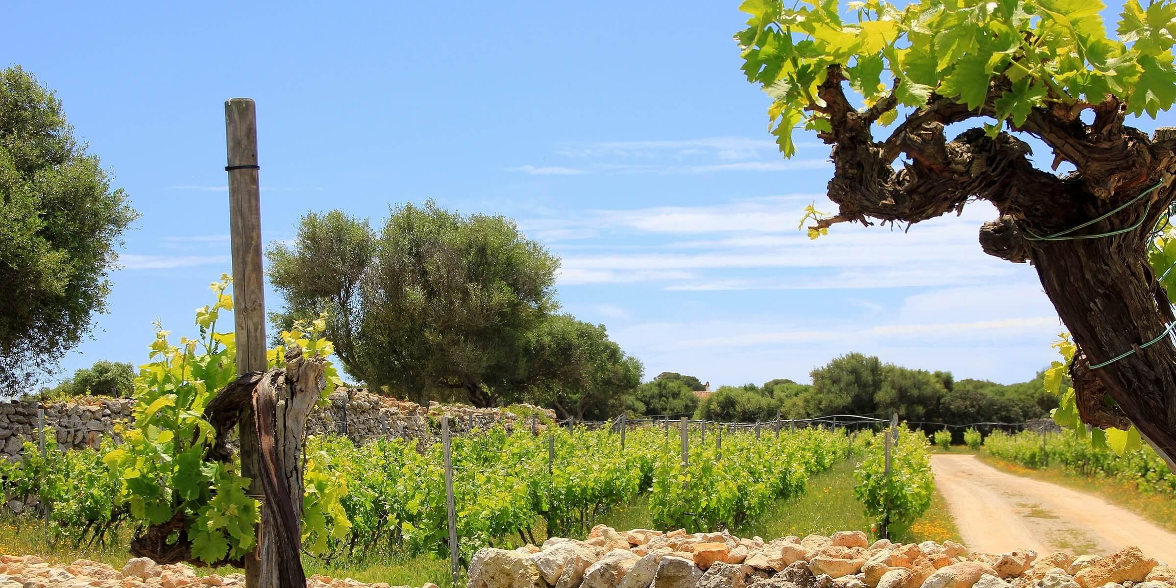 In Menorca machen wir einen Ausflug in ein Weinanbaugebiet