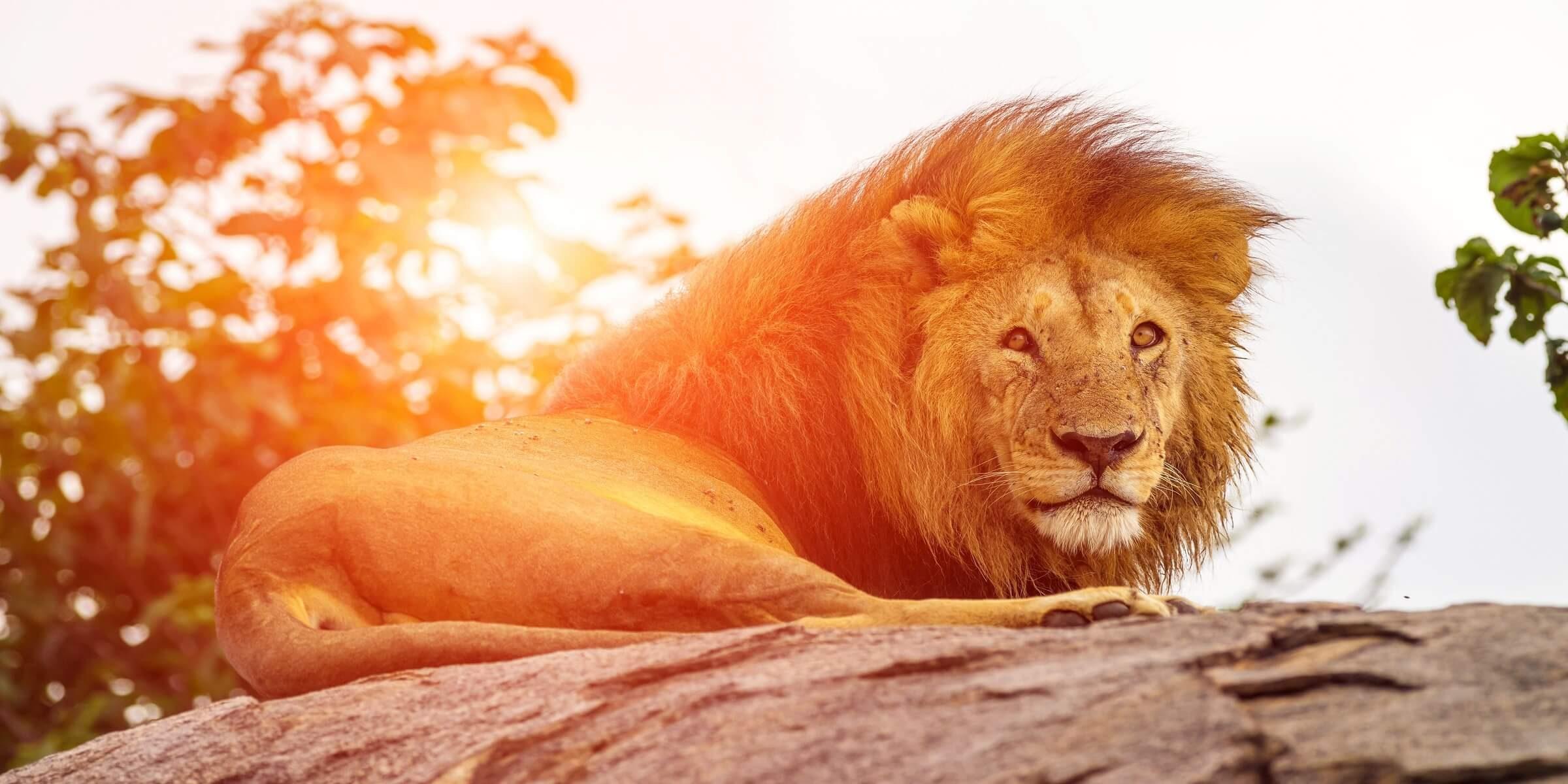 Südafrika ist dafür bekannt, viele Löwen in freier Wildbahn sehen zu können