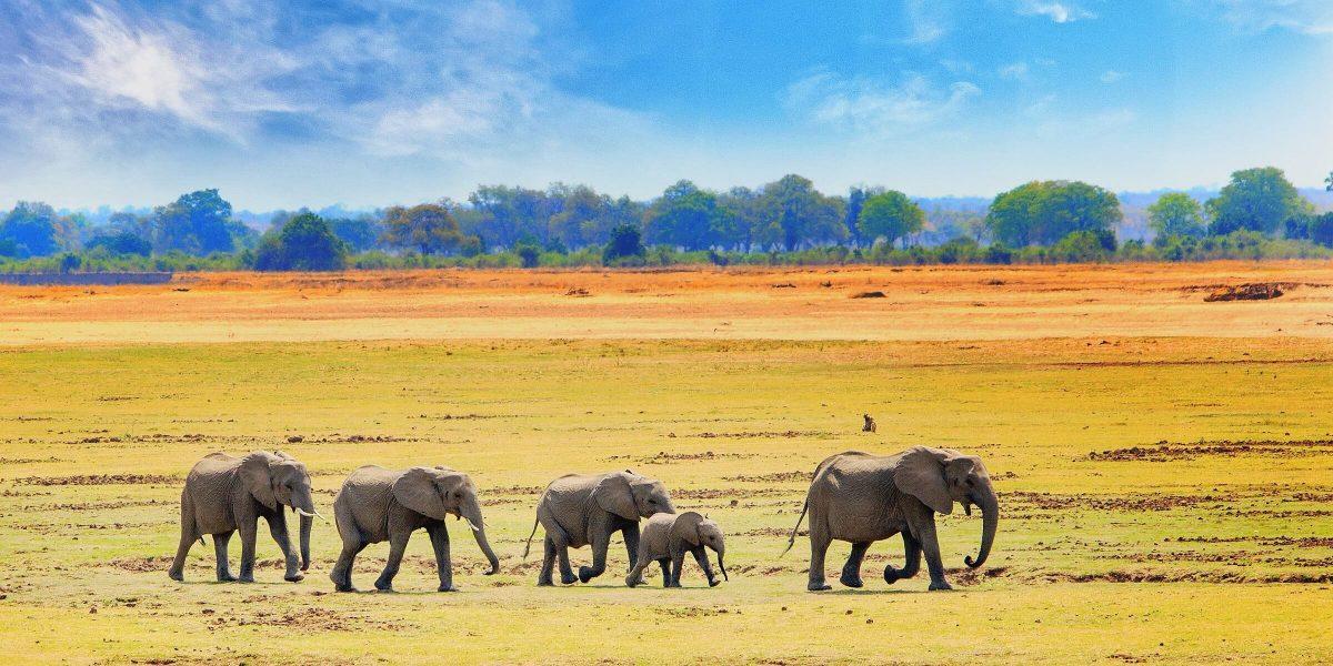 Auf einer Safari in Südafrika werden Sie bestimmt wild Elefanten sehen