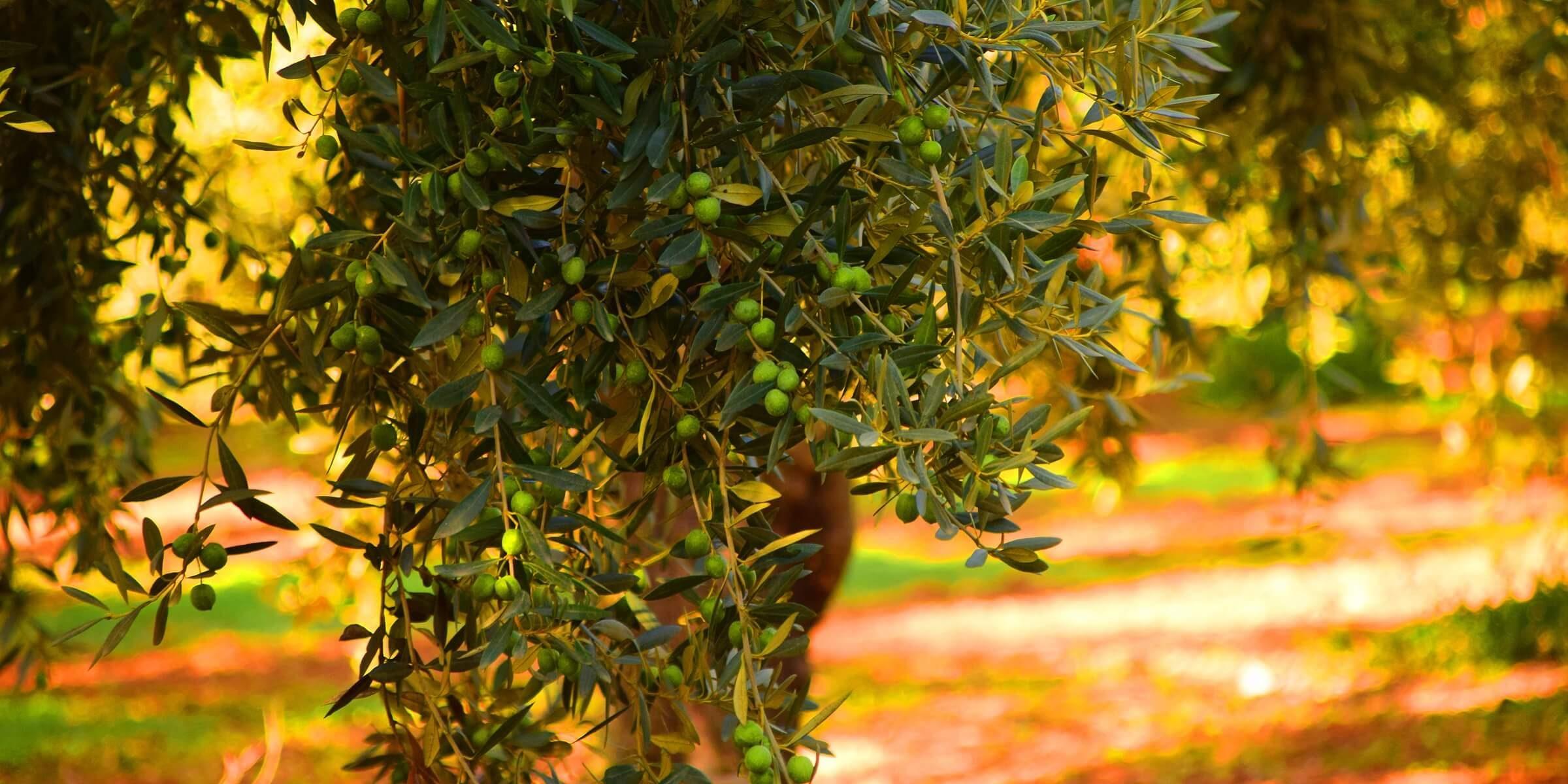 In Apulien können Sie frisch gepresstes Olivenöl kosten