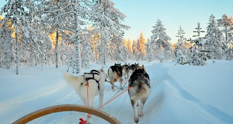 Lassen Sie sich bei einer Husky-Tour die Umgebung Lapplands zeigen