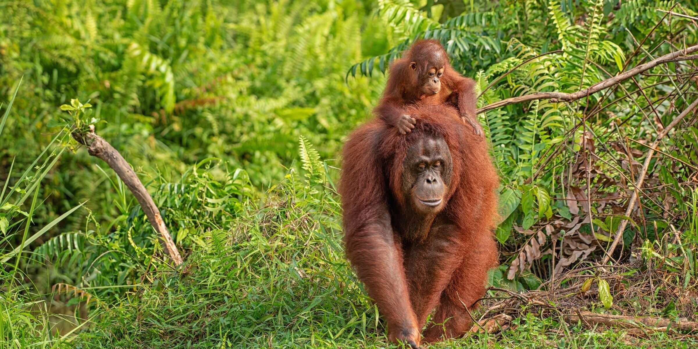 Orang Utans in freier Wildbahn in Malaysia