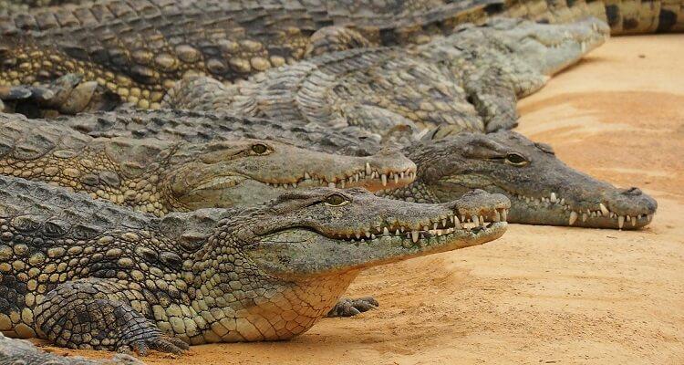 Wilde Krokodile und viele andere Wildtiere sehen Sie auf Ihrer Singlereise nach Mexiko