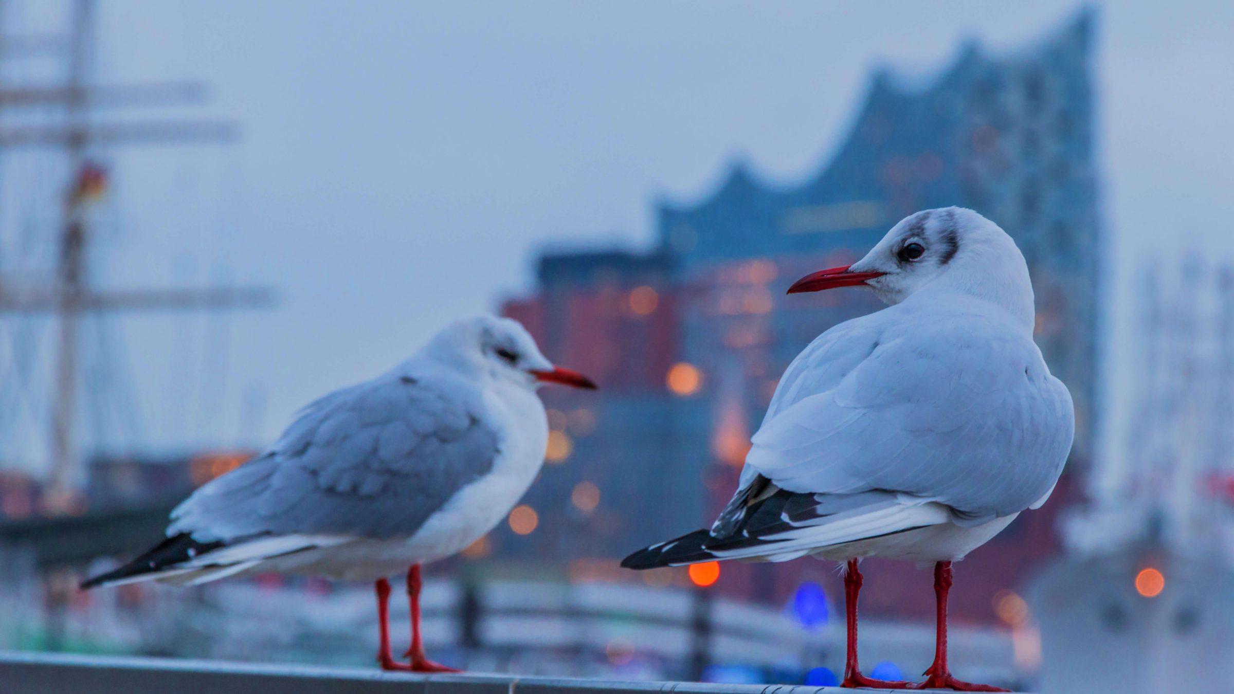 Eine Vogelart werden Sie in Hamburg sehr oft sehen, die Möwen