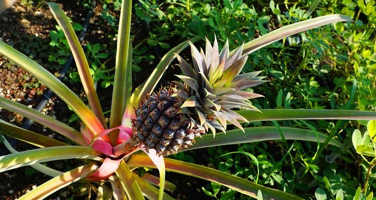 Ananasstaude in Panama