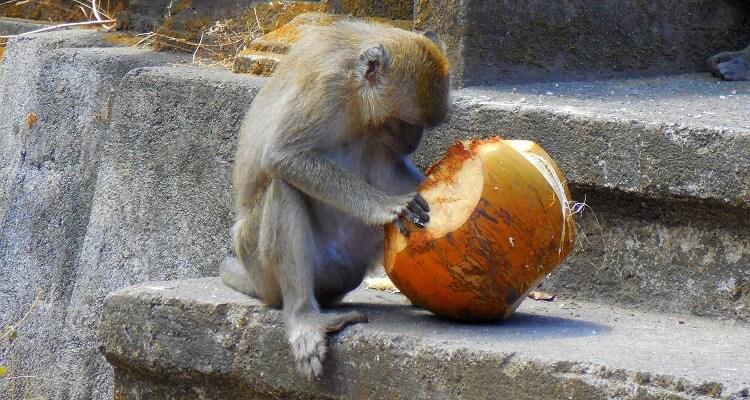 Ein Makake im Affenwald in Ubud