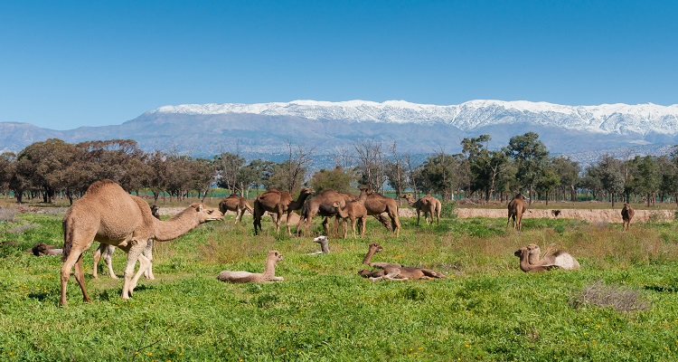 A group of camels grazing on fresh pasture between the Atlas mountains and Sahara desert in Morocco