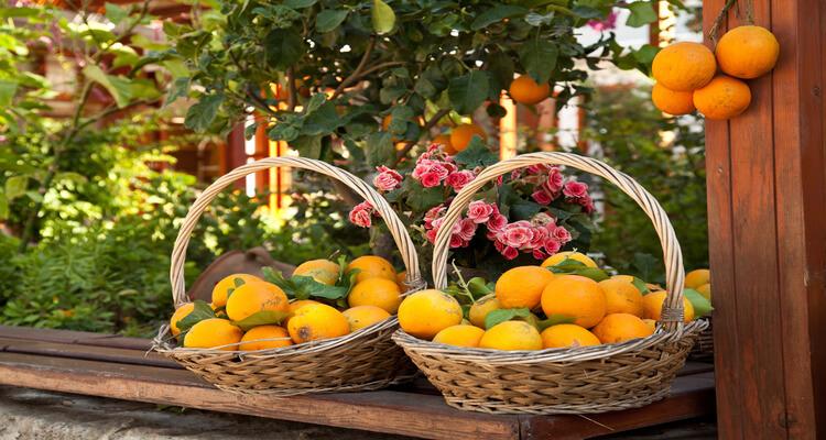Singlereise nach Mallorca - Terragust Obst-Plantage