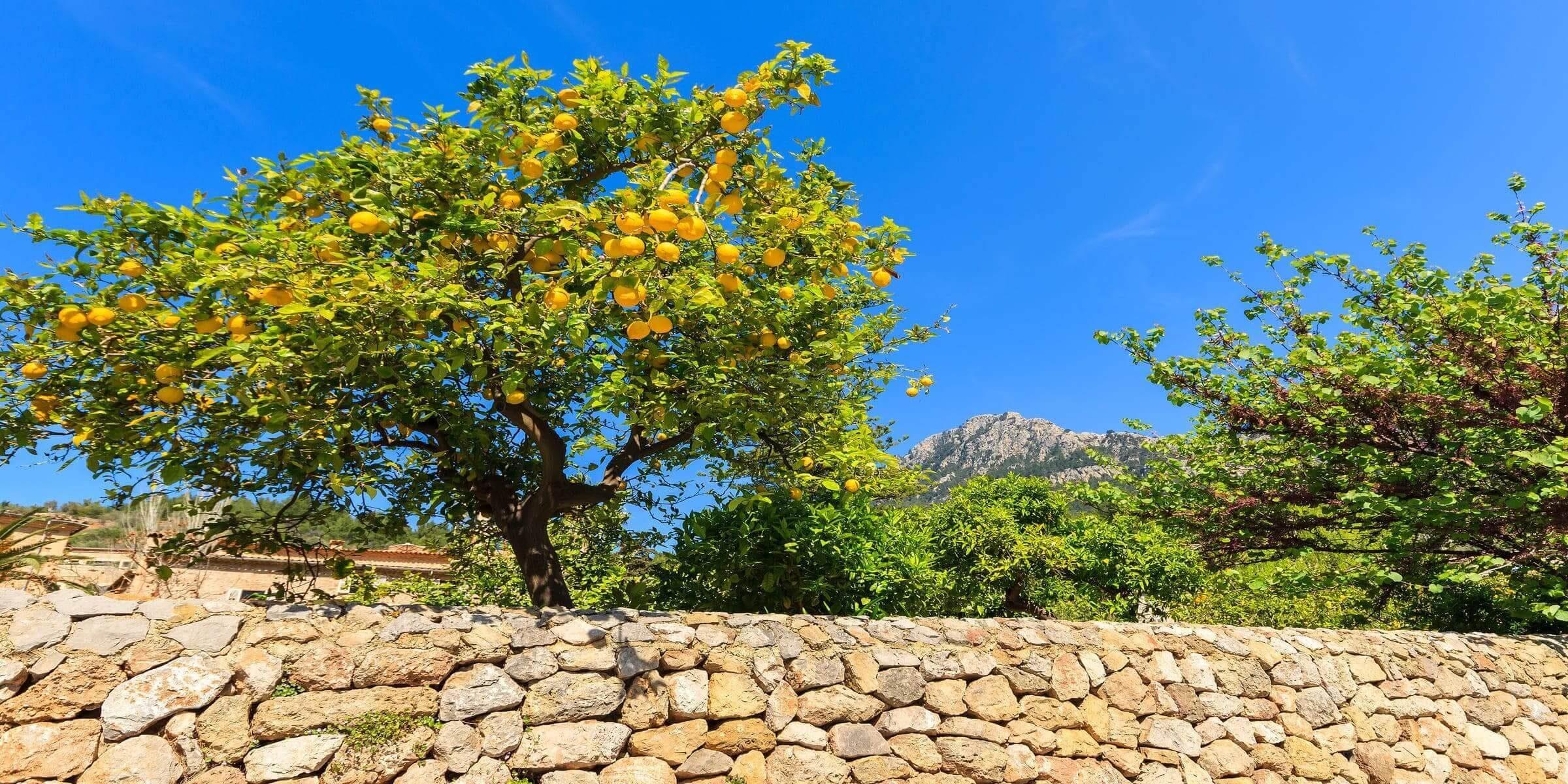 Singlereisen nach Mallorca - Orangenbäume