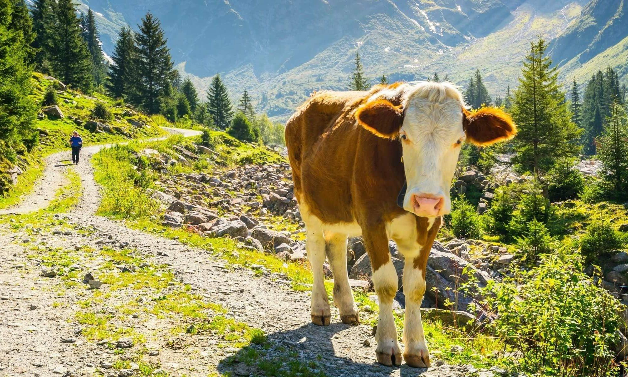Singlereise nach Bad Leonfelden - Kuh auf Wanderweg
