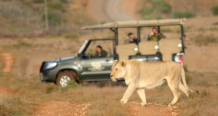 Singlereise nach Südafrika - Löwe auf Safari